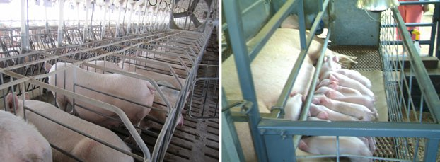 Pork Farming - gestation and farrowing crates | hurrythefoodup.com