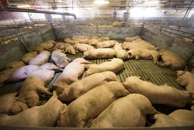 Industrial Pig Farming - This is how bacon is produced nowadays